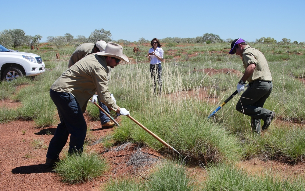 Racking spinifex